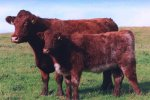 Scottish cattle breeds.jpg -