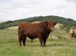 Luing Bull -