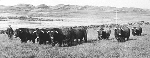 The History of Luing Cattle