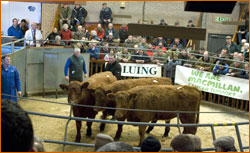 Luing Cattle Sale Reports