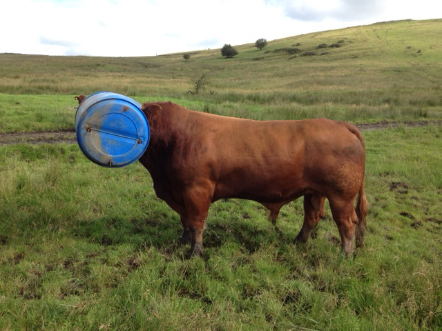 Luing cattle society stuck for words well publish some of the best entries on line and in our next luing journal the winner will receive a good prize in return for entertaining us all publicscrutiny Images